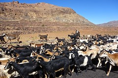 Goats of Yemen (EleanorGiul ~ http://thevelvetrocket.com/) Tags: yemen イエメン iémen йемен justinames 也门 arabpeninsula locallifeinyemen goatsofyemen httpthevelvetrocketcom เยเมน