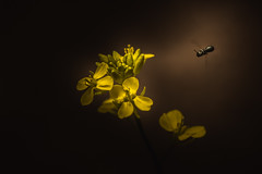 Landing Light (Paul Barson) Tags: light brown plant flower macro art floral yellow dark insect fly flying flora fineart petal bee matte