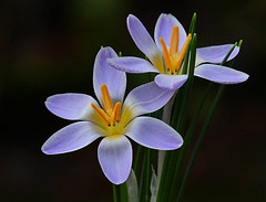 Crocus danfordiae blue form (Rainbirder) Tags: rainbirder crocusdanfordiae