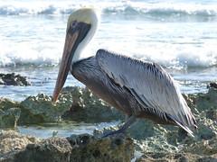Pellicano messicano (roberto_il_pisano) Tags: sea animal mexico riviera mare maya pelican messico pellicano