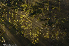Sunray in the Oregon forest. (Ulrich Burkhalter) Tags: mountains oregon waterfalls sunray forerst abiqua icywaterfalls