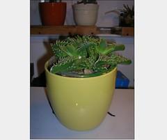Cactus-Tillandsia-5a (cuirung) Tags: jade gollum haworthia airplant crassula felina faucaria perforata tigerjaw cactustillandsia bulbbolsa