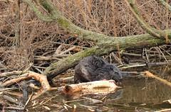 Beaver at work - Bobrza robota (irena iris szewczyk) Tags: tree water work beaver irenairisszewczyk