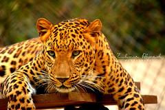 Leopard (Zubairah) Tags: life wild color texture cat photography nikon colorful wildlife awesome leopard nikkor natgeo flicr beautifulcat insta 500px d5200 55300zoom nikod5200 indianleo zubairahmedphotography