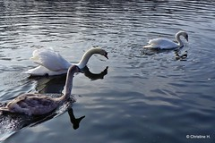 und schon wieder das gleiche Spiel (mama knipst!) Tags: bird swan natur schwan vogel februar villenhofermaar