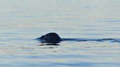 Curious Harbour Seal (Larssa) Tags: ocean sea canada cute nature water animals spring britishcolumbia wildlife seal kayaking saltspringisland 2015 gangesharbour phocavitulina