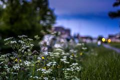 Canal (davidjhumphries) Tags: flowers summer dublin green broken nature canon eos 50mm evening canal f14 vivid growth barge waterways blanchardstown castleknock 50d twelfthlock lightroom5