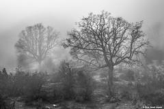 Quejigos (Francisco Jos Lpez) Tags: naturaleza paisaje invierno niebla pentaxk3 franciscojoselopezmorante