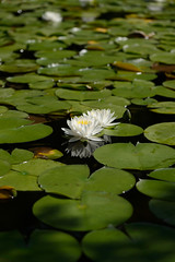 20160702 Heian Jingu shrine 5 (BONGURI) Tags: white whiteflower nikon df kyoto shrine waterlily jp   shinto  shintoshrine  heianjingu      heianjingushrine  afsvrmicronikkored105mmf28gif sakyoward