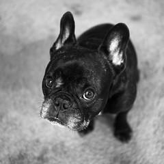 07-19-16 (2459) Early (Lainey1) Tags: bw dog monochrome 35mm lens fuji oz bulldog frenchie fujifilm f2 365 fujinon ozzy wr frogdog 2459 lainey1 zendog 071916 elainedudzinski ozzythefrenchie fujixt10 theseventhyear fujigal 2459oz