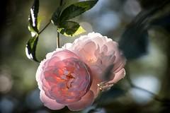 Light Back-light Light (NathalieSt) Tags: exmes bassenormandie nature flower bokeh fleurs flowers rose roses pink