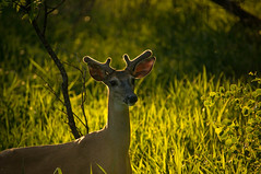 Sunset Deer (BJMarshall) Tags: sunset orange canada cute green beautiful animal yellow winnipeg doe manitoba deer buck whitetail whitetaildeer