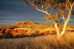 Glowing sunrise, Dales Gorge (Rod Burgess) Tags: tree sunrise dawn w australia eucalypt westernaustralia karijininationalpark canon24105f4l dalesgorge treesdiestandingup canon5dmkii