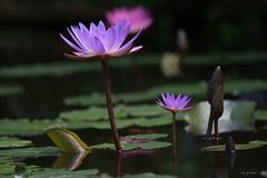 Le grand et le petit (jpto_55) Tags: fleur nnuphar fleurdennuphar jardin jardindesmartels xe1 fuji fujifilm fujixf55200mmf3548rlmois bokeh tarn france