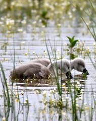 Cygnets feeding. (pstone646) Tags: cygnets birds nature wildlife animals kent elmley beauty flora pond water