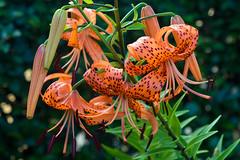 DSC_6014.jpg (kTomoyuki) Tags:  lily  tigerlily