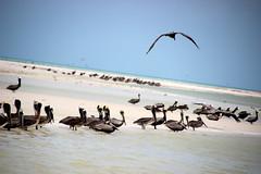 Pelicans (dsotg) Tags: holbox quintana roo mexico quintanaroo isla island holboxisland islaholbox caribbean caribe sea beach