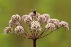 Wild Angelica (Angelica sylvestris) (greggys stuff) Tags: angelicasylvestris wildangelica crwyscommunitywoodland threecrosses gower july umbelliferae