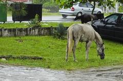 Confuso 04 (Parchen) Tags: foto chuva estrada caos cavalos rua fotografia animais cavalo trnsito imagem confuso baguna molhado chuvoso registro veculo chuvarada parchen carlosparchen animaissoltosnarua