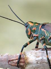 langosta face (Mari Tutu) Tags: face animal ojos cielo cabeza campo insecto langosta