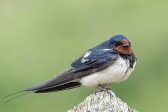 Swallow (Gareth Keevil) Tags: uk wild detail cute bird wales feathers signpost swallow barnswallow marloes fledgeling nikond810 garethkeevil nikon300mmpf