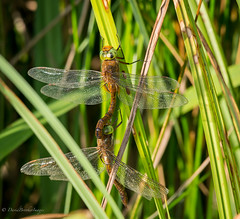 Norfolk Hawkers (dangerousdavecarper) Tags: aeshna isoceles norfolk hawkers paired coupling male female dragonfly nature