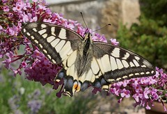 Schwalbenschwanz. Old World swallowtail. (st.klaus612) Tags: ritterfalter sommer sommerflieder flieder swallowtail oldworldswallowtail schwalbenschwanz deutschland germany germania bayern bavaria schwarz weis black white rosa pink bright pretty panasonic tz101 wow buddleia
