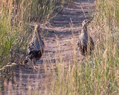 SAGE-GROUSE, Greater (teddcenter) Tags: antelopeflats bird gamebird grandtetonnationalpark greatersagegrouse grouse tetoncounty wyoming