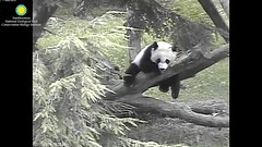 2016_07-15m (gkoo19681) Tags: nationalzoo dangling meixiang beibei lovenibbles ccncby