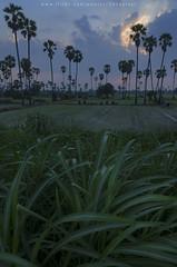 Sugar palm in rice field (Pond Pisut) Tags: sunset cloud green nature field landscape nikon rice natural cloudy dusk palm sugar grasses naturelover naturescape d7000 landscapelover