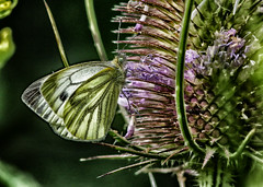 GREEN VEINED WHITE 267 (gazza294) Tags: flicker flickr flckr flkr gazza294 garymargetts