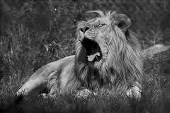 open the mouth (rondoudou87) Tags: parc reynou lion wildlife pentax nature k1 blackwhite noiretblanc noir blanc white black