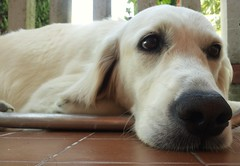 Thoughtful dog (norella.giorgia) Tags: dog beautiful animal cane goldenretriever friend thoughtful thoughts minnie bianco pensieri snout muzzle naso muso nouse