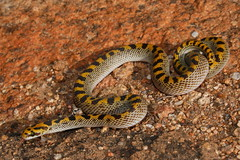Fisks House Snake - Namaqualand - Copyright of David Maguire (David Maguire) Tags: africa house scale snake south cape northern fisk namaqua