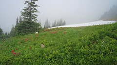 Wildflowers (Mzsthai) Tags: mtrainier washington washingtonstate nationalparks pacificnorthwest