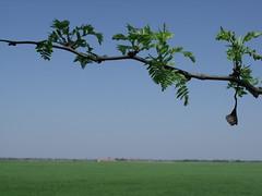 Tree branch, Hdmezvsrhely, Hungary (Norbert Bnhidi) Tags: hungary hdmezvsrhely csomorkny plant ungarn hungra hongrie ungheria hungria hongarije  magyarorszg