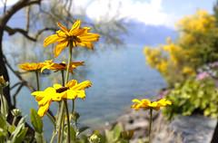 DU SOLEIL  !!! c'est l 't (Elyane11) Tags: fleurs jaune soleil lac nature montreux suisse