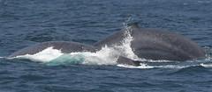 Blue Whales (larryvenus) Tags: infocus lowcontrast mediumquality whales bluewhales bluewhalepair monterey montereybay montereycounty montereybaywhalewatching nikon nikond500 tamron tamron150600mmlens