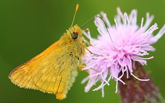 Large Skipper 260616 (Richard Collier - Wildlife and Travel Photography) Tags: wildlife naturalhistory insects butterflies british macro largeskipper