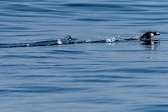 Puffin Takeoff (pooroldtim) Tags: nikond810 nikon birds puffin seabirds pearlisland canada atlantic summer 20005000mmf56