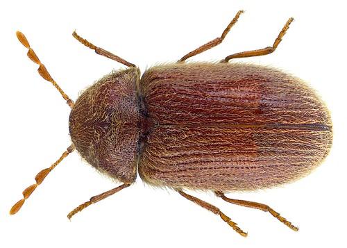 Stegobium paniceum (Linné, 1758)
