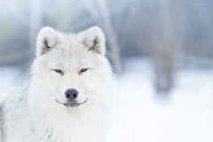 Artic wolf (camel.arnaud) Tags: loup artique artic wolf nature wild faune canis lupus hiver winter parc mahikan bokeh 70200 sigma f28 hsmii