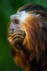 DSC_4475-1 (craigchaddock) Tags: cilantro zoe goldenheadedliontamarin leontopithecuschrysomelas parkeraviary sandiegozoo endangeredspecies newworldmonkey monkey tamarin goldenheadedtamarin