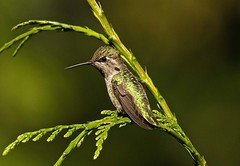 Anna's Hummingbird Female (jerrygabby1) Tags:
