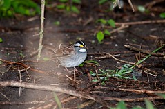 2016 White-throated Sparrow 5 (DrLensCap) Tags: whitethroated sparrow montrose point bird sanctuary chicago illinois il robert kramer