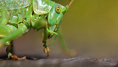 Look at my foot (Paula Darwinkel) Tags: great green bushcricket insect invertebrate nature cricket