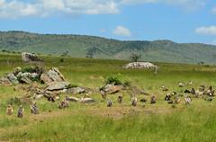 PWS_6700 (paulshaffner) Tags: dorobo safaris dorobosafaris serengeti safari studyabroad education abroad tanzania penn state pennstate biology pennstatebiology