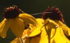 IMG_3723 (1) (Sally Knox Sakshaug) Tags: brown eye susan yellow gold seed betty daisy thinleaved coneflower closeup bright sun green perennial leaf black pod orange rudbeckia wildflower past old outdoors nature fall autumn october sunshine