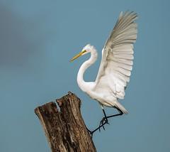 Striving For The Top (J Baker Photography) Tags: florida wetlands wadingbirds whitebirds great egret flight landing incoming wingspread blueskies