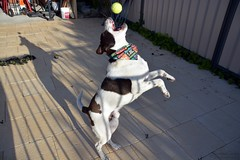 DSC_0210-1 (ScootaCoota Photography) Tags: dog pet animal border coliie labrador mutt rescue adopt dont shop outdoors ball catch play